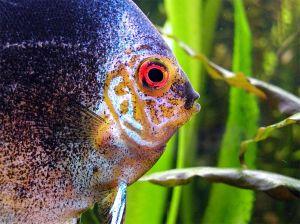 熱帯魚 ディスカス